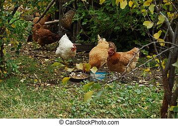 grupo, de, gallinas