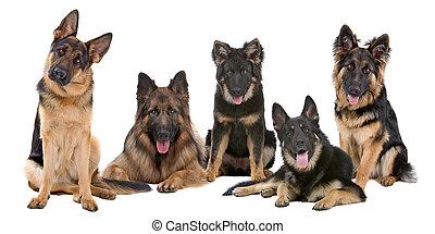 grupo, de, pastor alemán, perros