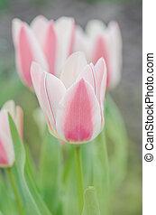 grupo, de, rojo y blanco, tulipanes, en, garden., rosado, sueño, tulipán