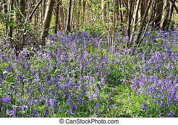 grupo grande, de, bluebells, en, bosque
