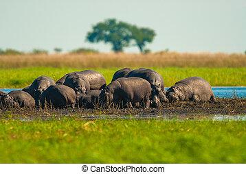 grupo grande, de, hippos, em, a, lama