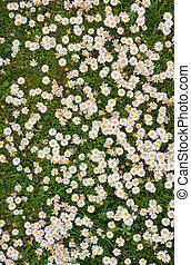 grupo grande, de, primavera, margarita, flores, cierre, arriba.