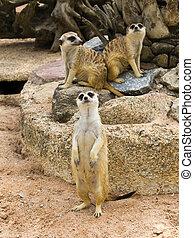 grupp, av, meerkat
