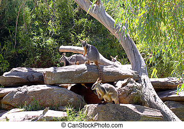 grupp, av, yellow-footed, rock-wallabies, -, petrogale,...