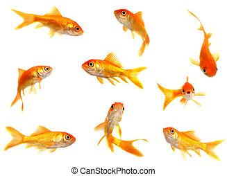 gruppe, goldfische