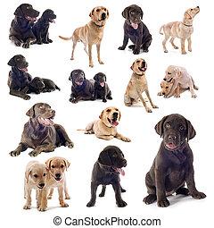 gruppe, labradorhundapportierhund