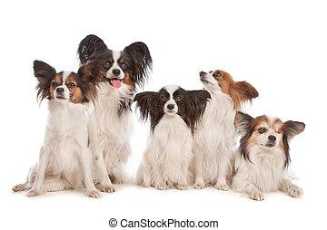 gruppe, papillon, fünf, hunden