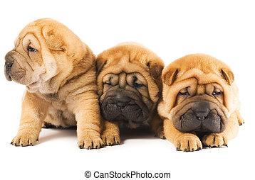 gruppe, von, drei, schöne , sharpei, hundebabys, freigestellt, weiß, hintergrund