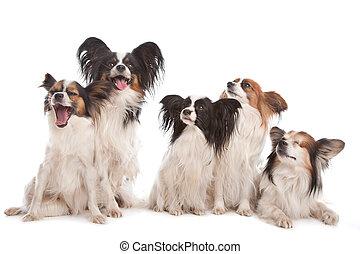 gruppe, von, fünf, papillon, hunden