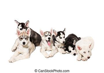 gruppe, von, glücklich, sibirischer schlittenhund, hundebabys, weiß, hintergrund