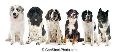 gruppe, von, groß, hunden