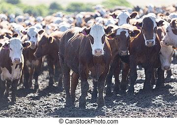 gruppe, von, kühe, in, intensiv, bauernhoftiere, ackerland,...