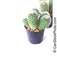 gruppe, von, kaktusse, freigestellt, weiß, hintergrund