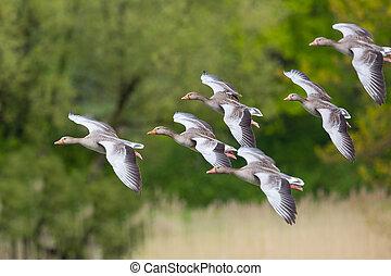 gruppe, von, mehrere, fliegendes, graue , gänse, (anser,...