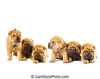gruppe, von, schöne , sharpei, hundebabys, freigestellt, weiß, hintergrund