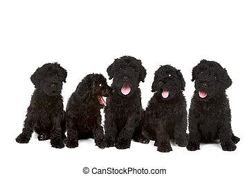 gruppe, von, schwarz, russische, terrier, hundebabys