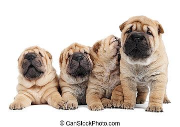 gruppe, von, sharpei, junger hund, hund