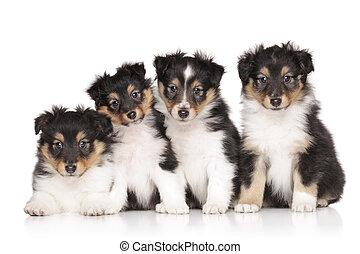 gruppe, von, shelti, hundebabys
