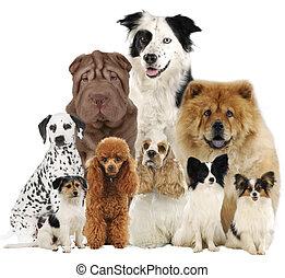 gruppe, von, verschieden, hund, rassen
