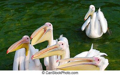 gruppe, von, weiße pelikane