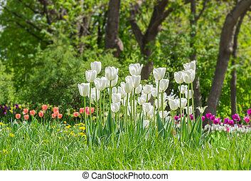 gruppe, von, weißes, tulpen, in, der, midst, a, gras