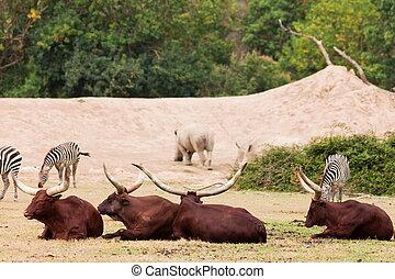 gruppe, von, zebra, und, ankole-watusi