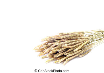 gruppo, di, asciutto, poaceae, bianco, fondo.