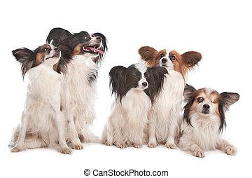 gruppo, di, cinque, papillon, cani