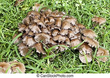 gruppo, di, funghi, -, psathyrella