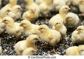 gruppo, di, giovane, polli, in, pollame, fattoria