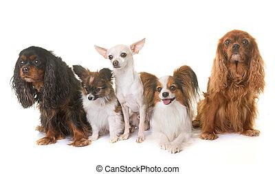 gruppo, di, poco, cani