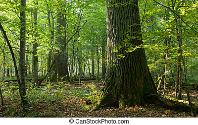gruppo, gigante, naturale, foresta, querce