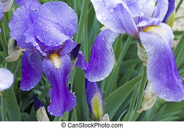 gruppo, viola, primavera, iridi, giorno pieno sole