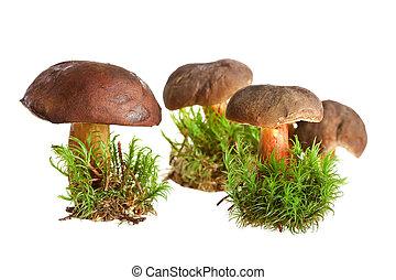 grzyb, tło, odizolowany, biały
