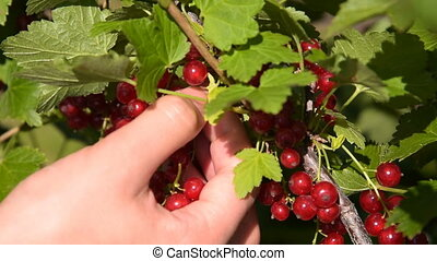 Gthering red currant