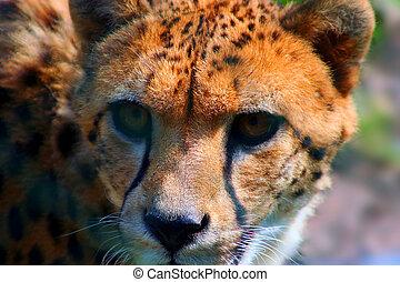 guépard, dévisager