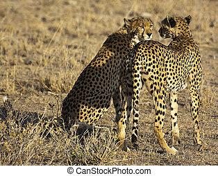 guépard, masai, jumeaux, mara, chasse