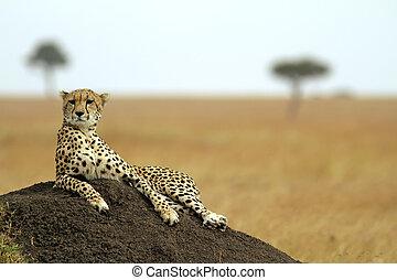 guépard, masai mara