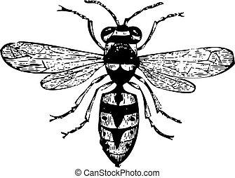 guêpe, vespa, vieux, gravure, vulgaris