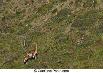 guanaco, 在上, a, 山坡