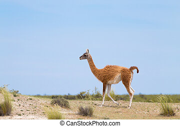 Guanaco close up, wildlife from Patagonia, Argentina