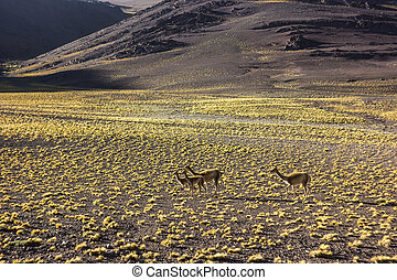 guanaco family on grass field