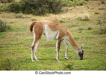 Guanaco in Chile - A guanaco in the pampas of Patagonia, in ...