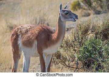 Guanaco in Patagonian steppe, Argentina, Patagonia