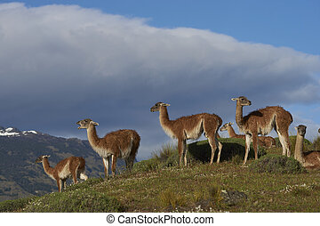 Guanaco in Valle Chacabuco, Patagonia - Group of Guanaco...
