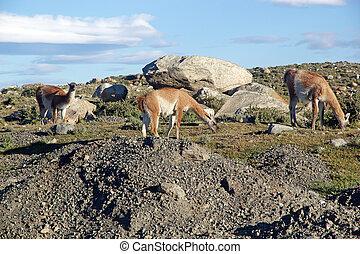 Guanaco (Lama guanicoe) in Patagonia, Chile - Guanaco (Lama ...