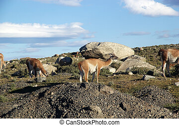 Guanaco (Lama guanicoe) in Patagonia, Chile - Guanacos (Lama...