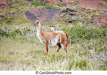 Guanaco (Lama guanicoe) in Torres del Paine National Park, ...