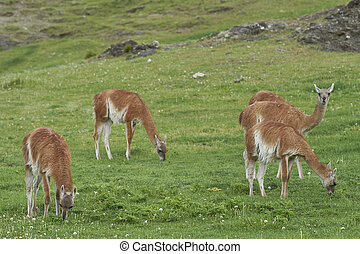 Guanaco (Lama guanicoe) in Valle Chacabuco, northern ...