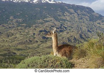 Guanaco (Lama guanicoe) on a hillside in Valle Chacabuco, ...